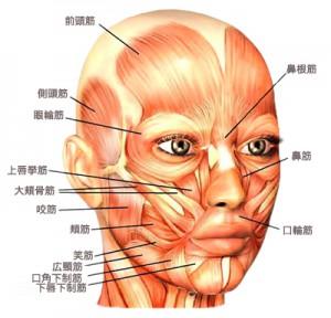image-facialmuscle